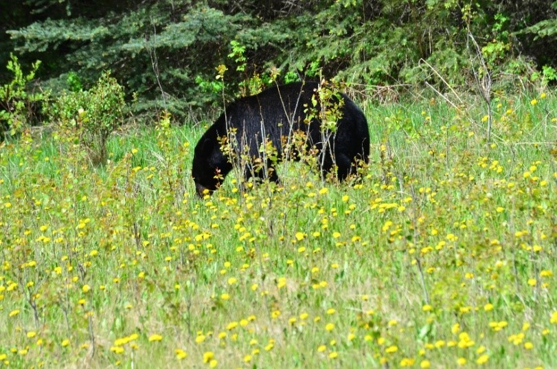 Rocheuses canadiennes ours nature sauvage