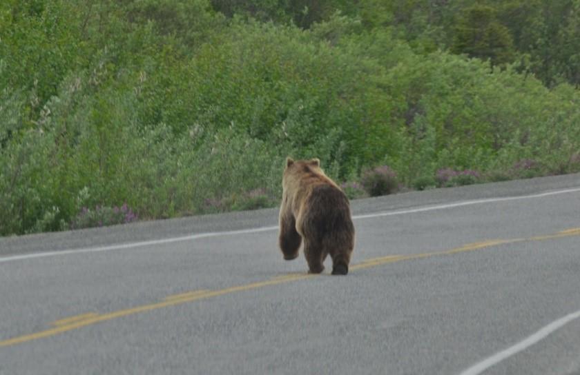 Surprise sur la route ours canada